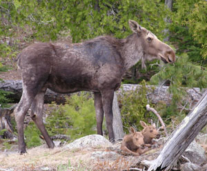 East Bearskin Lake Moose Twins